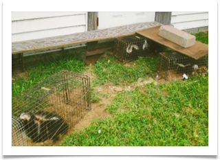 Trapping Skunks by Animal Wildllide Trapping