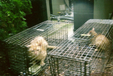 stray cats trap service in cage
