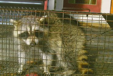 raccoon trapped in cage
